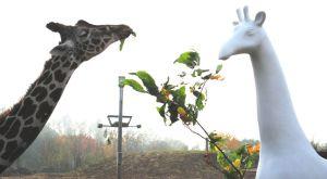 Giraffe at Colchester Zoo meets a Stand Tall giraffe!